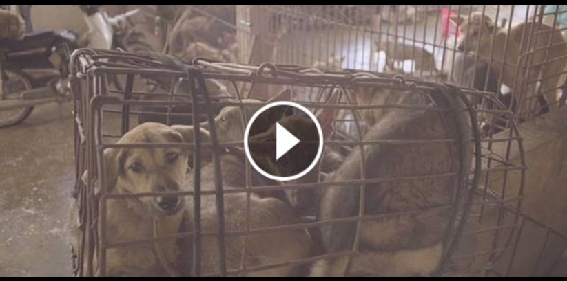 Ecco perché in Oriente si mangia carne di cane (Documentario)